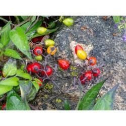 Razvodnik Seme, Paskvica (Solanum dulcamara L.) 1.75 - 4