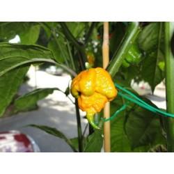 Semi di Peperoncino Carolina Reaper rosso e giallo 2.45 - 13