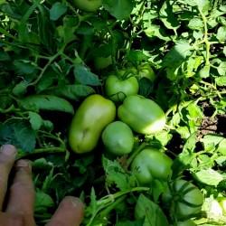 Alparac σπόροι τομάτας - Ποικιλία από τη Σερβία 1.95 - 2