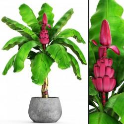 Semi di Banana Rosa (Musa velutina) 1.95 - 4