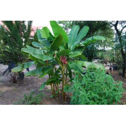 Semi di Banana Rosa (Musa velutina) 1.95 - 2