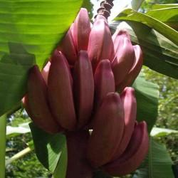 Semi di Banana Rosa (Musa velutina) 1.95 - 3