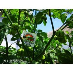 Semi di Peperoncino Carolina Reaper rosso e giallo 2.45 - 18