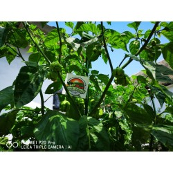 Graines de Piment Carolina Reaper rouge et jaune 2.45 - 19
