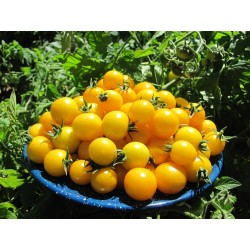 GOLD NUGGET Tomato Yellow Cherry Seeds 1.85 - 4