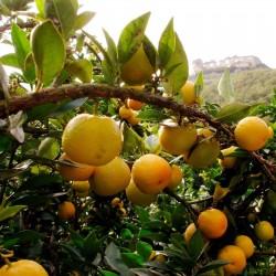 Κιτρέα η μυρτόφυλλος σπόρος (Citrus myrtifolia) 6 - 4