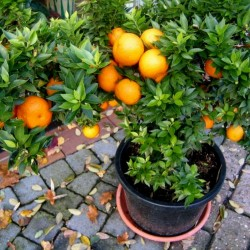 Graines de Orange CHINOTTO (Citrus myrtifolia) 6 - 5