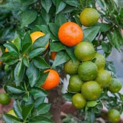 Semi di Arancione CHINOTTO (citrus myrtifolia) 6 - 6