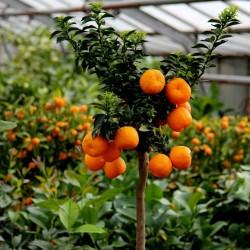 Sementes de CHINOTTO (Citrus myrtifolia) 6 - 9