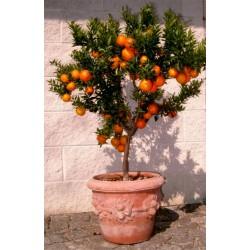 Κιτρέα η μυρτόφυλλος σπόρος (Citrus myrtifolia) 6 - 7