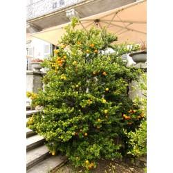 Sementes de CHINOTTO (Citrus myrtifolia) 6 - 8