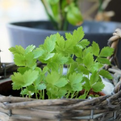 Sementes de Mitsuba, Salsa Japonesa (Cryptotaenia japonica) 1.35 - 1