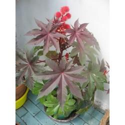 Ricinus communis Seme 1.85 - 5