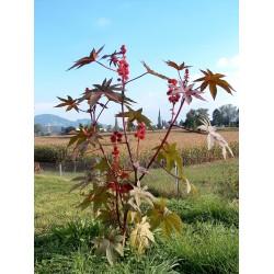 Ricinus communis Seme 1.85 - 6