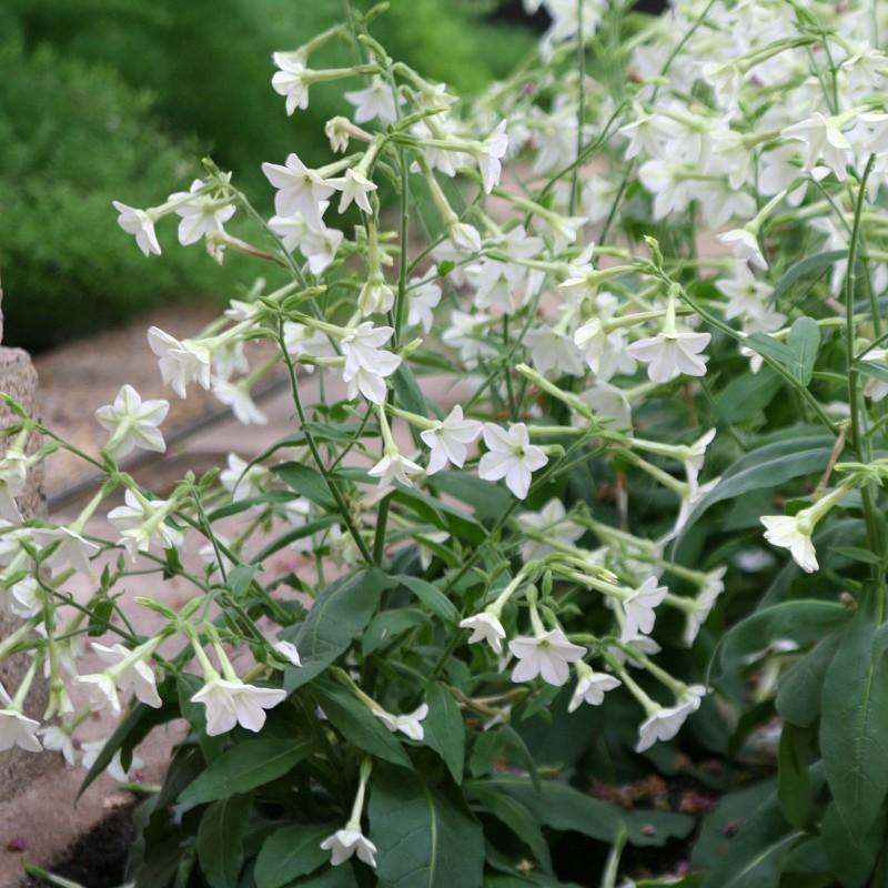 Semi Di Tabacco Da Fiore Bianco 2 - 1