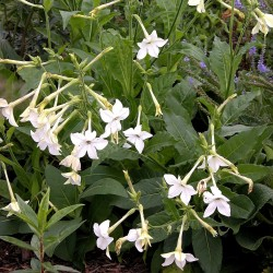 Jasmine Tobacco, Flowering Tobacco Seeds 2 - 2