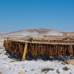 Divlji duvan, seljački duvan seme (Nicotiana rustica) 1.9 - 4