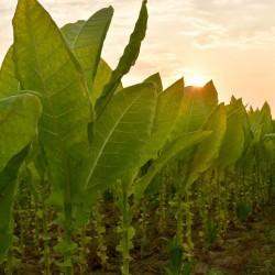 Semi di tabacco Latakia Peremochez Orient 1.95 - 1