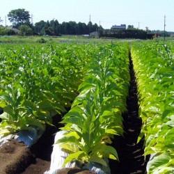 Latakia Orient Tobacco Seeds 1.95 - 2