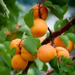 Aprikose Samen MANCHURIAN APRICOT 4.5 - 3