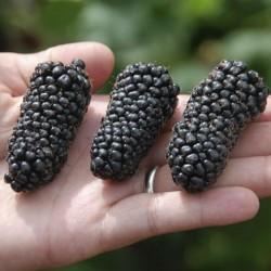 Giant Blackberry Seeds (Rubus fruticosus) 1.85 - 1
