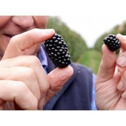 Riesen Brombeeren Samen 1.85 - 2
