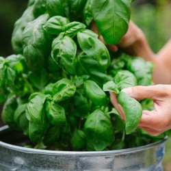 Basil Seeds MIX 4 different varieties 2 - 4