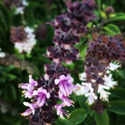 Sementes Manjericão MIX 4 diferentes variedades 2 - 5