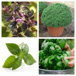 Basilikum Saatgut MIX 4 verschiedenen Sorten 2 - 6
