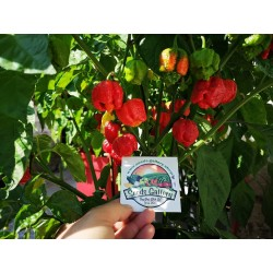 Semi di Peperoncino Piccante Trinidad Moruga 1.95 - 6