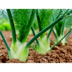 FLORENCE Fenchel Samen, Heilpflanze und Gewürz 1.85 - 2