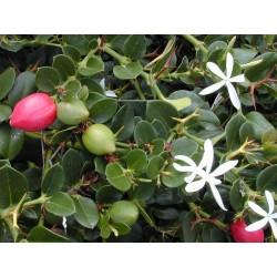 Semi di PRUGNA DEL NATAL (Carissa macrocarpa) 2.5 - 5