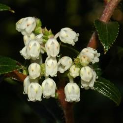 Sementes Tasmanian Snowberry frutas deliciosas 1.35 - 1