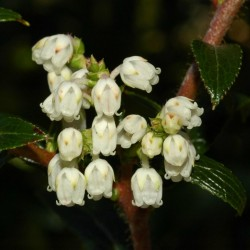 Tasmanian Snow Berry Seme - Egzoticno Voce 1.35 - 1