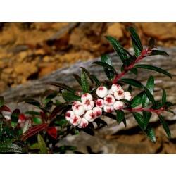 Sementes Tasmanian Snowberry frutas deliciosas 1.35 - 2