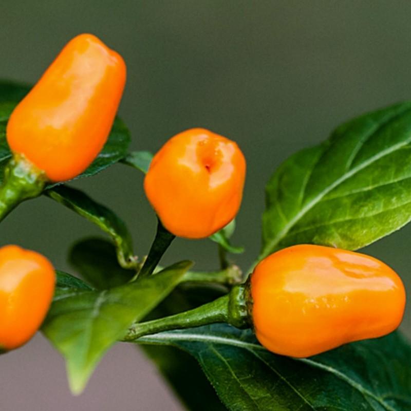 Sementes de Pimentão Cumari ou Passarinho (Capsicum chinense) 2 - 2