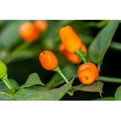 Σπόροι τσίλι Cumari o Passarinho (Capsicum chinense) 2 - 3