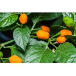 Cumari or Passarinho Seeds (Capsicum chinense) 2 - 4