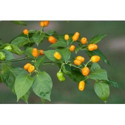 Sementes de Pimentão Cumari ou Passarinho (Capsicum chinense) 2 - 5