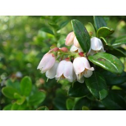 Lingonberry or Cowberry Seed 1.85 - 4