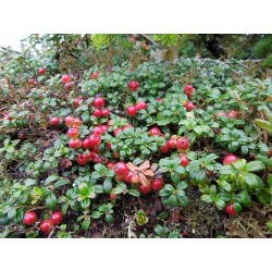 Lingonberry or Cowberry Seed 1.85 - 6