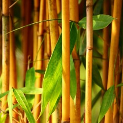 Gyllene Bambu Frön (Phyllostachys aurea) 1.95 - 10