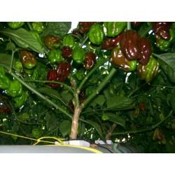 Sementes de Pimenta Chocolate Habanero