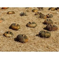 Seme Bundeve MARINA DI CHIOGGIA 1.99 - 3