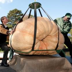 Semi di Zucca Atlantic Giant (824.86 kg) 3.65 - 5