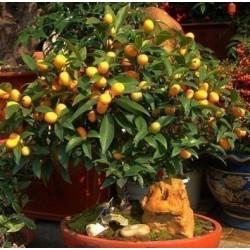 Σπόροι Κουμκουάτ (Fortunella Margarita) παγετό Χάρντι -10 C