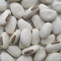 """Graines de Haricot Sabre Géantes blancs """"Shironata Mame"""" 1.95 - 1"""