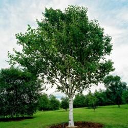 Sementes de Bétula (Betula) 1.95 - 2