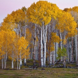 Birch Tree Seeds (Betula) 1.95 - 1