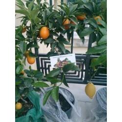 Kumquats or cumquats Seeds (Fortunella margarita) exotic tropical fruit